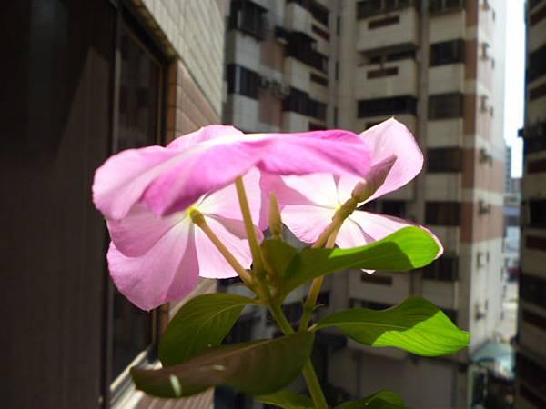 開給別人看的日日春之一。