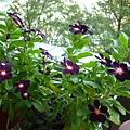 繁花盛朵的黑日們。