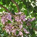 郵局附近的花樹。(水黃皮)