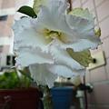 第一棵沙漠玫瑰。