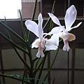 家裡的蜈蚣蘭X日本小風蘭開花了。