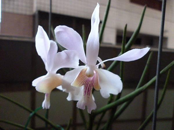 櫻花白的淺紫紋。