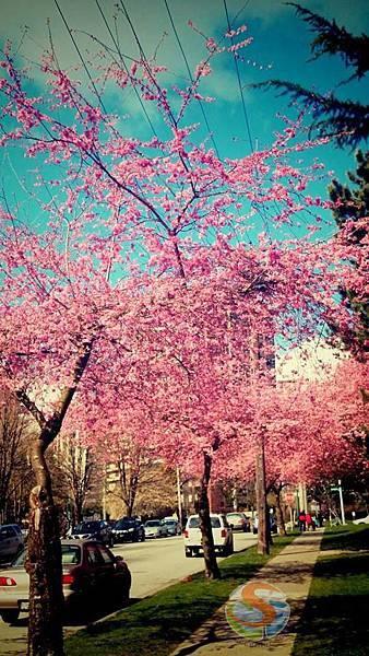 3月超美的櫻花 路邊到處都是 何必人擠人