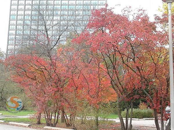 秋天,楓紅了