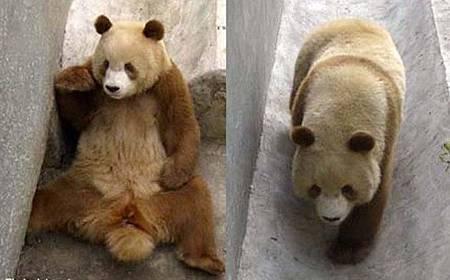 qizai-panda-raksasa