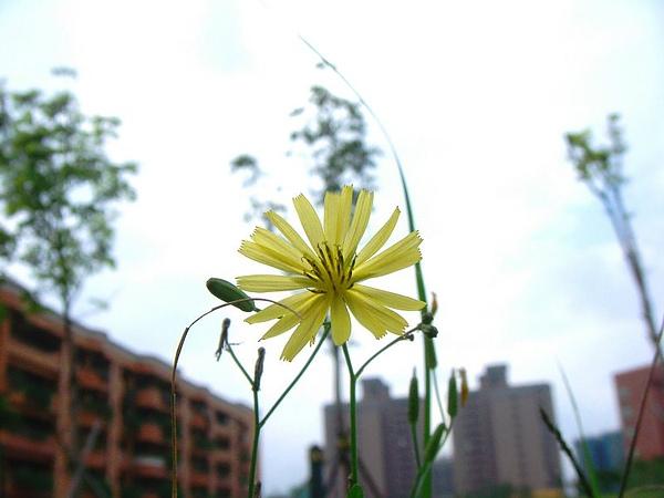 都市的小黃花2007.12.28.JPG