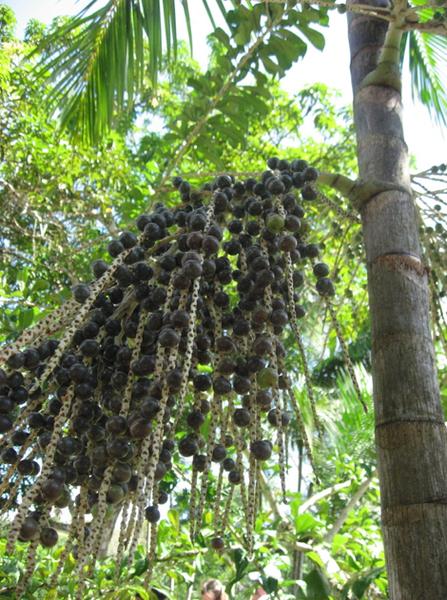 巴西莓樹.png