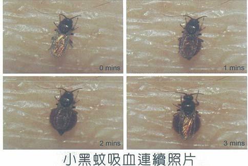 小黑蚊連續吸血