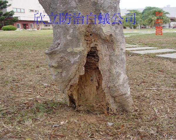土壤內白蟻經由樹根上來侵蝕樹木,造成樹木死亡(001).jpg