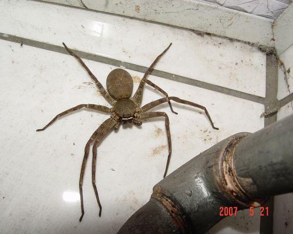 住家常見的蜘蛛.jpg