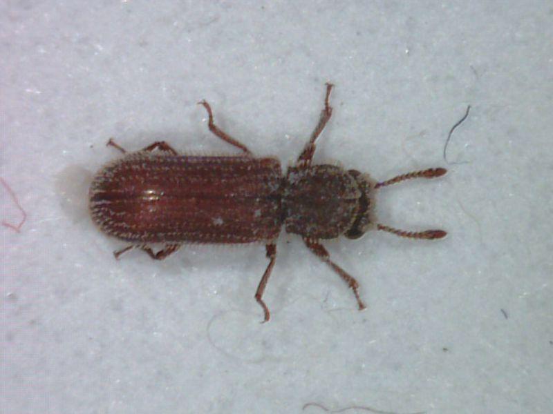 真菌甲蟲.jpg