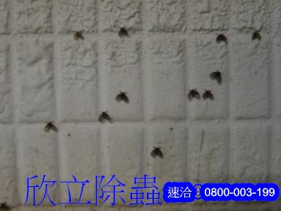 蛾蚋孑孓除蟲
