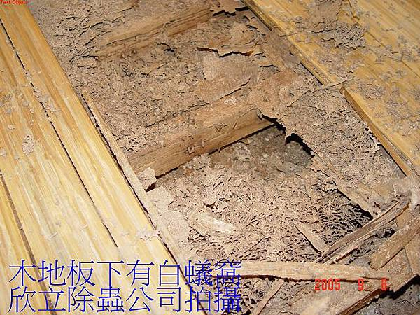 木地板長白蟻窩