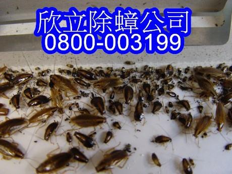 蟑螂圖片.jpg