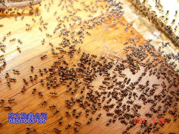 螞蟻消毒.jpg