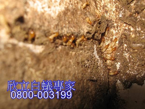 白蟻注射藥劑