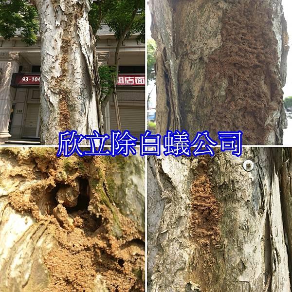 白蟻吃樹木.jpg