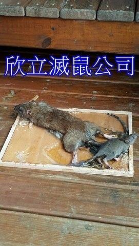 死老鼠處理.jpg