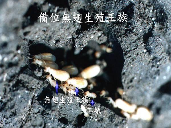 無翅生殖白蟻