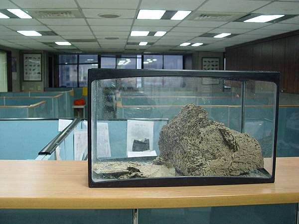 將蟻窩採摘至魚缸內養殖.JPG