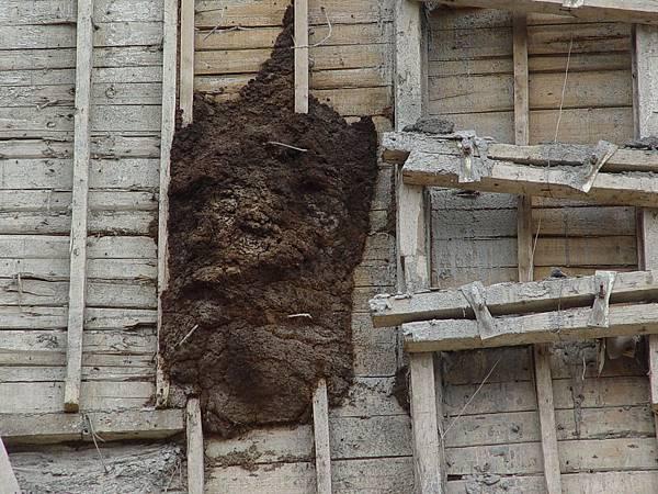 在大樓外牆長了一個好大的白蟻窩.JPG