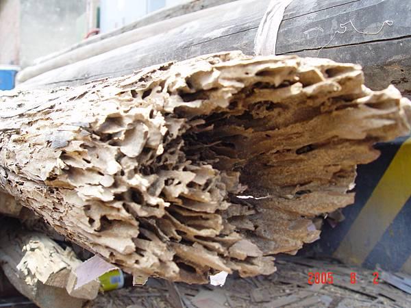 傳統建築的樑被白蟻蛀蝕嚴重,被拆解下來.JPG