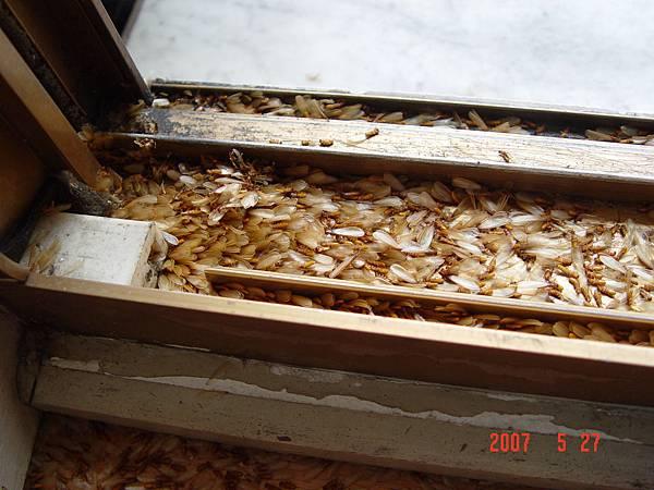 窗框上有大量分飛生殖蟻的屍體.JPG