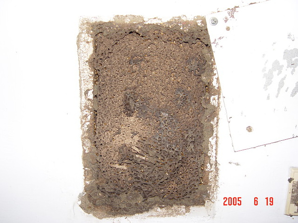 牆壁電源箱裡也可以築白蟻巢....jpg