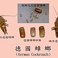 德國蟑螂的雌雄及卵鞘