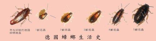 德國蟑螂的生活史