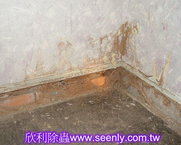 架高地板被白蟻侵蝕(露出白蟻路徑)