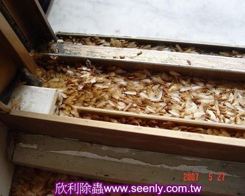 窗框上有大量分飛白蟻生殖蟻的屍體