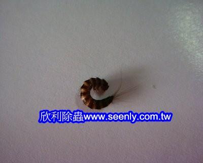 鰹節蟲的幼蟲
