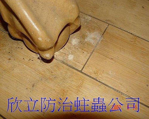 木蠹蟲蛀蝕孔與排遺的粉末-2