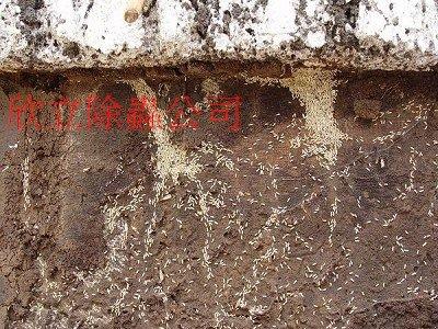 地面下的白蟻.jpg