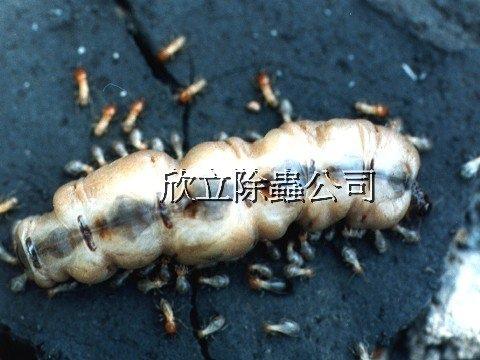 好大隻的白蟻蟻后-旁邊的兵蟻與工蟻在保護牠.jpg
