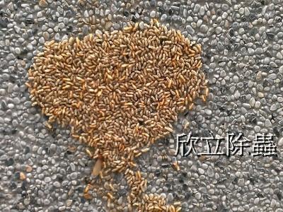 地上白蟻.jpg