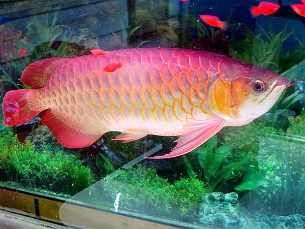圖12 連雋美佳的店魚也成了老相識