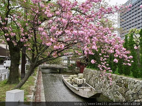P1)高瀨川邊的櫻花樹.jpg