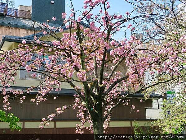 P2)白川河畔的櫻花樹.jpg