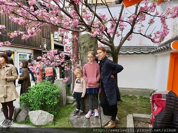 P3)清水寺前的櫻花樹.jpg
