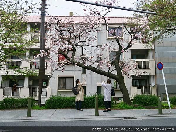 P23)高瀬川邊的櫻花樹.jpg
