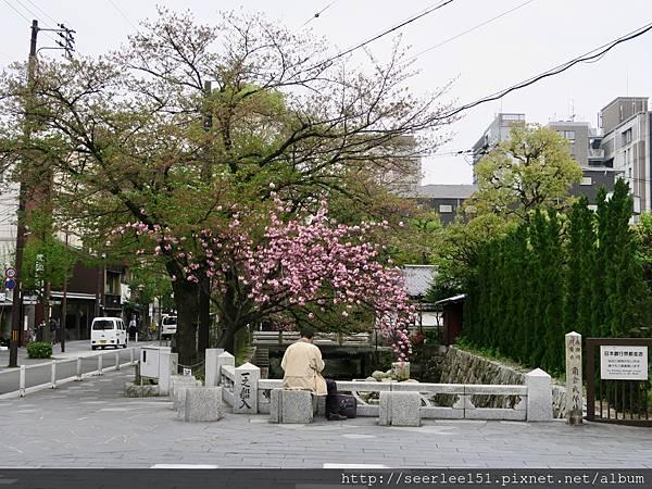 P24)高瀨川邊的櫻花樹.jpg