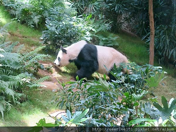 P17)海洋公園裏的熊貓.jpg