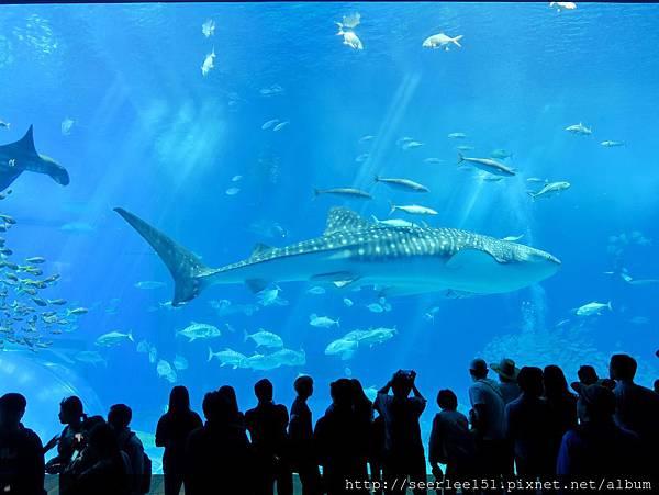 P8)美麗海海洋公園的大型鯨鯊.jpg