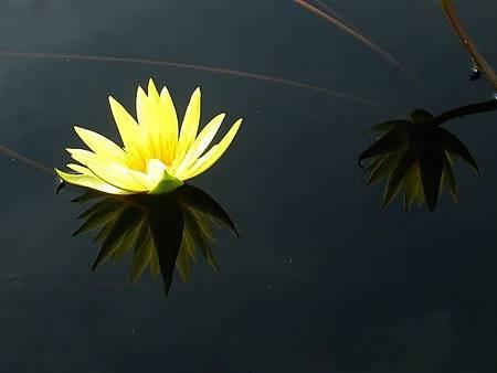 Lotus_alvin