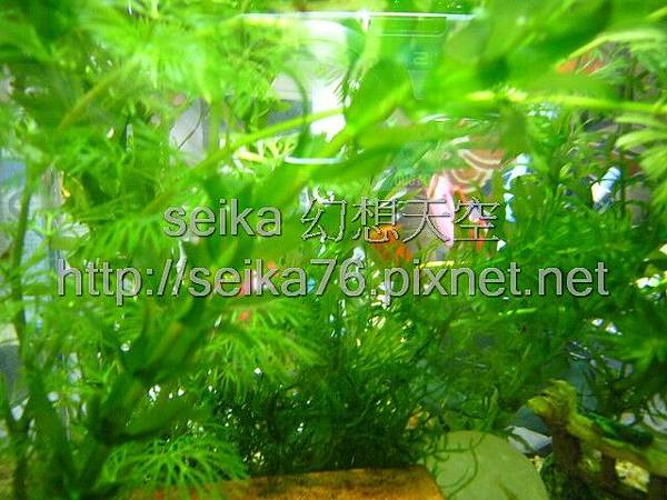 2008_05_25小魚缸_003