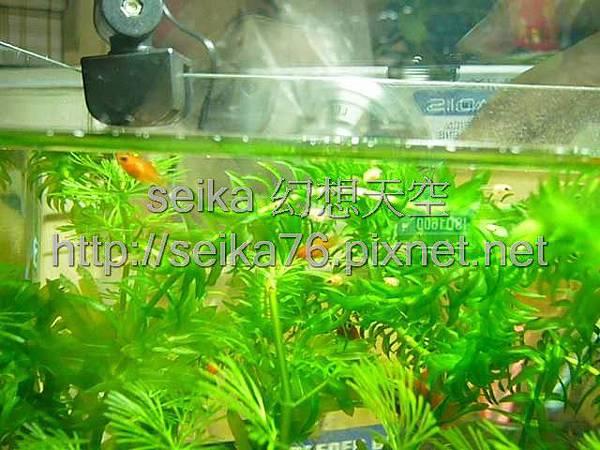 2008_06_07第二批小魚誕生