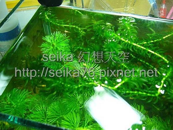 2008_06_07第二批小魚誕生_000