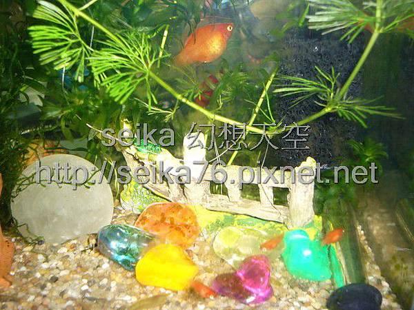 2008_06_07第二批小魚誕生_006